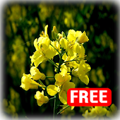 Rape Blossoms Live Wallpaper 4