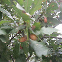 Pedunculate oak - English oak / Hrast lužnjak