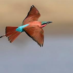 Carmine Bee-eater by Robert van Brug - Animals Birds ( bird in-flight, aves, zuidelijke karmijnrode bijeneter, merops nubicoides, south luangwa national park, zambia, southern camine bee-eater, oiseaux, bif )
