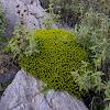 Euphorbia acanthothamnos (Ευφορβία η ακανθόθαμνος)