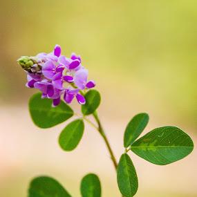 Wild by Shaik Mohaideen - Flowers Flowers in the Wild ( wild flower, tada, chennai )