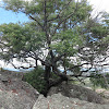 Mountain Tea-tree