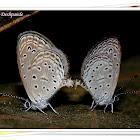 Tiny Grass Blue Butterfy