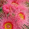 Eucalyptus Flowering Gum