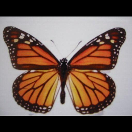 Butterfly Wallpaper , 壁紙 蝶