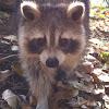 North American Raccoon