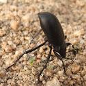 Pinacate beetle, Darkling beetle