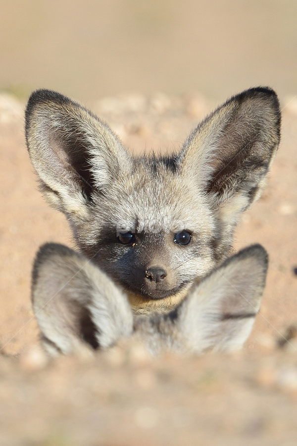 I see you! by Neal Cooper - Animals Other Mammals ( bat-eared foxes )