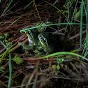 Mediterranean tree frog amplexus
