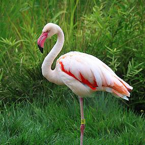 Flamingo by Mili Shrivastava - Animals Birds (  )