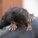 Star - nosed Mole