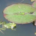 Frog (Rana)