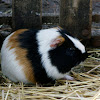 Cuy / Guinea pig