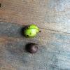 Butter Nut Hickory