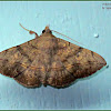 Irrorated Tabby Moth