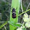 Rice Spittle Bug