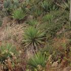 Curve-leaf Yucca