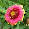 'Bijou' Blanket Flower
