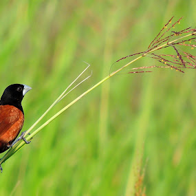 Chestnut Munia by  Priyanka Das - Animals Birds ( munia, birds, animal,  )