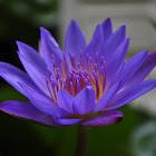 ดอกบัว (Lotus, Water Lilly)