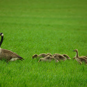 Goose field by Dustin White - Animals Birds ( field, familiy, geese, chicks, goose )