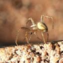 Golden lynx spider