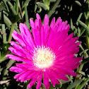 Flor de la Doca