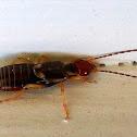 Earwig (male)