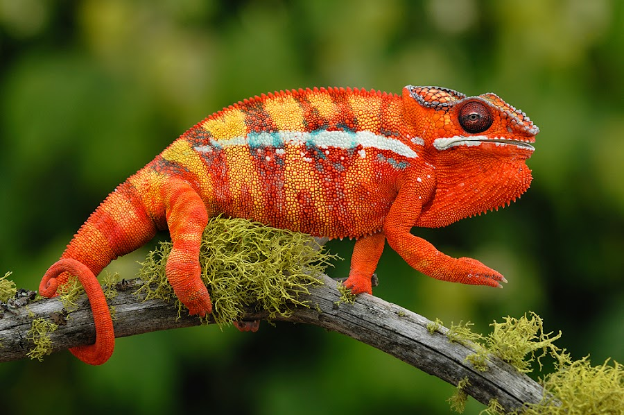by Paul Bratescu - Animals Reptiles ( pardalis, lizard, tongue, chromatic, color, africa, reptile, lizards, chameleon, madagascar, anuran, island )