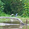 Garceta Azul/Little Blue Heron