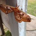 Jonas' Silk Moth