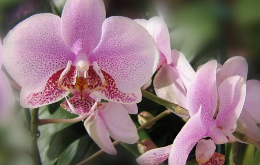 Orchids Wallpapers HD