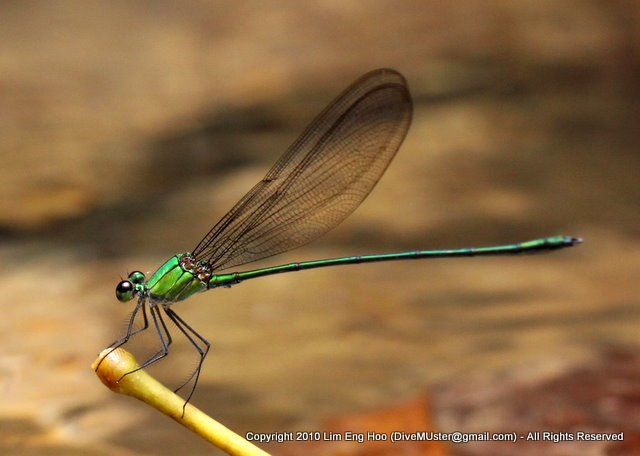 Damselfly - Clear-winged Forest Glory