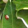 Assassin Bug Eggs