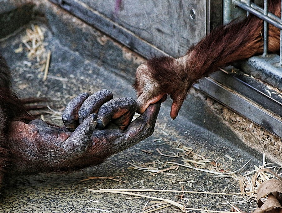 hold me! by Axel K. Böttcher - Animals Other Mammals ( hand, imprisoned, orang-utan, emotion )
