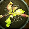 Purple pitcher plant