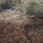 Cottonmouth (juvenile)