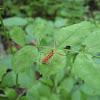 Ringed Horn Assassin Bug