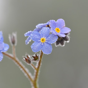 Dew covered Forget-me-not by Tony Steele - Flowers Flowers in the Wild ( dew covered forget-me-not )