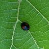 Black lady bug