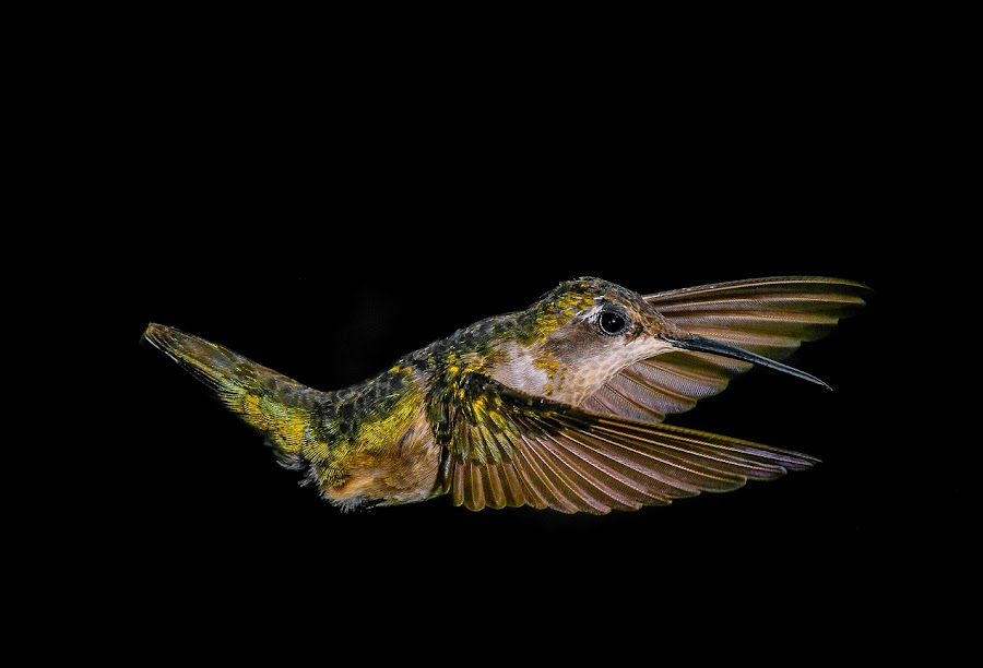 sweep by Gregg Pratt - Animals Birds ( hummingbird )