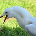 Silver Gull (mature male)