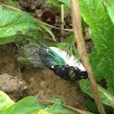 Green Winged Cicada