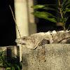 spiny tailed or black iguana