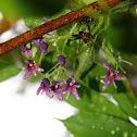 紫花野木瓜