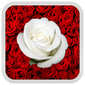 Red Roses Live Wallpaper Free