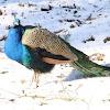 Peacock / Peafowl