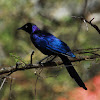Starling, Ruppell's Long-tailed Starling