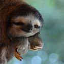 Three-fingered Sloth