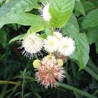 Buttonbush, Common Buttonbush, Button-willow, Honey-bells